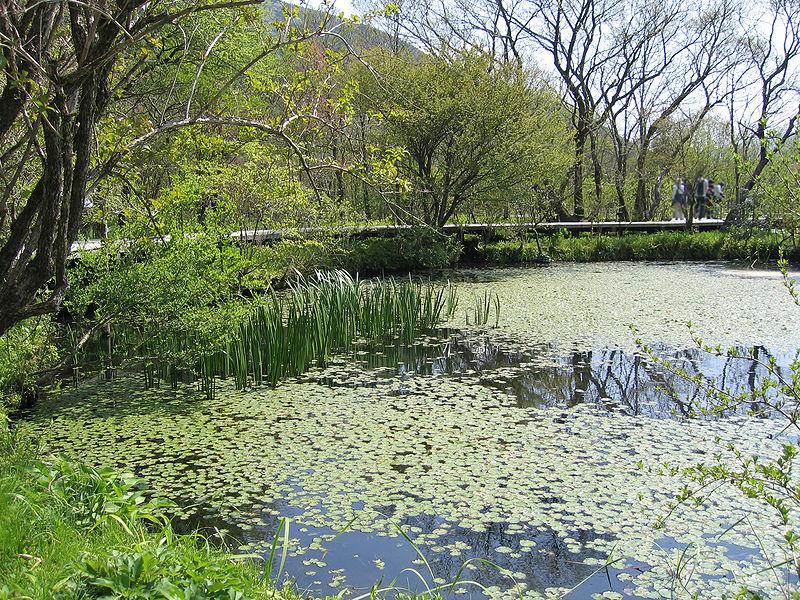 Bontanical gardens of wetlands at Hakone